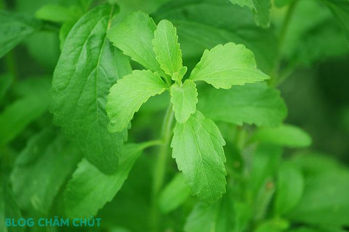 thành phần cỏ ngọt trong bột cần tây sitokata