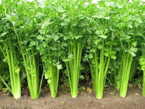 thành phần rau cần tây trong bột cần tây sitokata