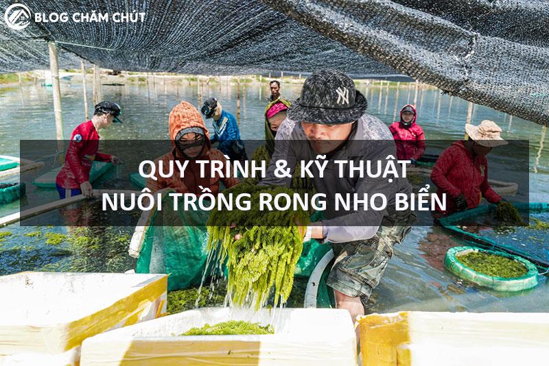 kỹ thuật nuôi trồng rong nho biển