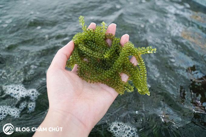 rong nho biển là gì